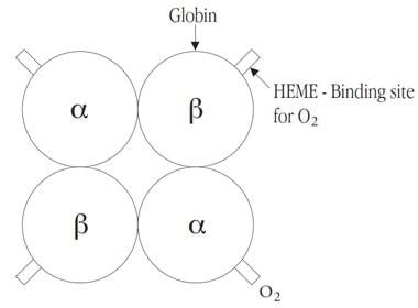 شماتیک ساختار هموگلوبین A